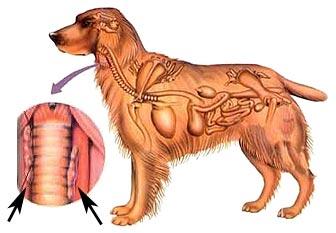 schildklier-problemen-hond