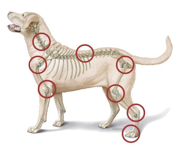 artrose hond en hoe kurkuma mogelijk kan helpen