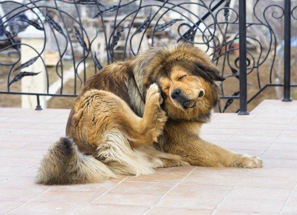 vlooien bij je hond veroorzaakt jeuk