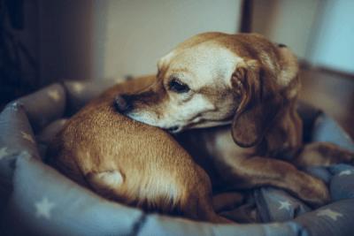 jeuk-bij-hond-door-allergie-voedselallergie-hond-vlooienallergie-hond-allergie-geen-vlooien